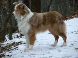 australian shepherd in spanish 17 best images about australian shepherds on pinterest dog show
