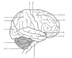 brain anatomy worksheet free worksheets library download and