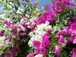 indoor flowering plants growing your dream garden caring for bougainvillea indoor