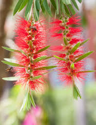 australian native screening plants bottlebrush