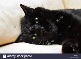 halloween background portrait portrait of a common european black cat with green eyes on sofa