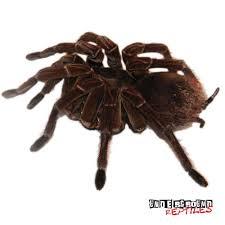 tarantulas for sale underground reptiles