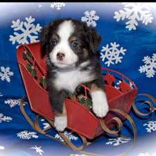 australian shepherd queen creek az black tri australian shepherd animals pinterest black tri