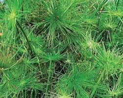 Tropical Aquatic Plants - hardy pond plants