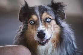 australian shepherd long hair mouth australian shepherd images u0026 stock pictures royalty free