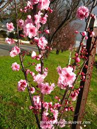 cherry blossom tree branch flickr