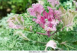 ornamental kale ornamental cabbage stock photos ornamental kale