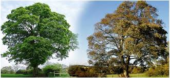 maple tree or european sycamore trees loved for their shade
