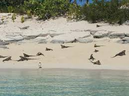 iguana island iguana island picture of exuma water tours great exuma tripadvisor
