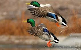 ducks wallpapers reuun com