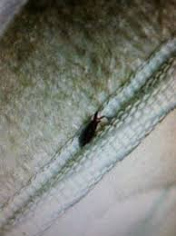 Bed Bugs In Mattress Disgusting Bugs In Mattress At Shawnee Wyndham Picture Of