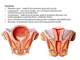 Male Anatomy Perineum Perineum2 Rakesh Vora