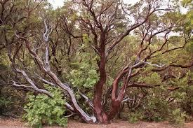 the manzanita tree photograph by heidi smith