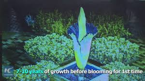 the blooming chinese flower market video news ebl news