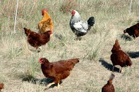 small chicken hmi chickens holistic management international