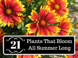 blooming plants 21 plants that bloom all summer long
