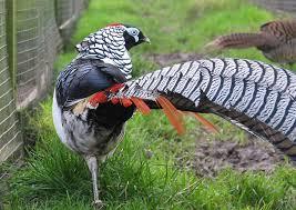amherst s pheasant
