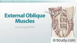 axial muscles trunk muscles anatomy u0026 support video u0026 lesson