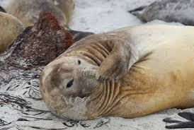 14 huge facts about elephant seals mental floss