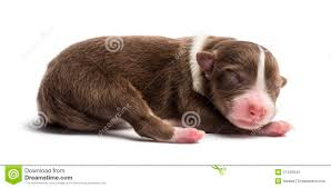 1 australian shepherd australian shepherd puppy 1 day old lying stock image image