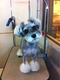 schnauzer hair styles the 25 best schnauzer cut ideas on pinterest schnauzer grooming