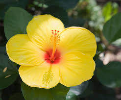100 hawaii state flower hibiscus best 20 hibiscus flower