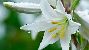Lilly Flowers White Lily Flower Wallpaper