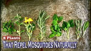 plants that keep mosquitoes away 8 plants that repel mosquitoes naturally better home u0026 garden