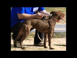 american pitbull a terrier the real american pitbull terrier youtube