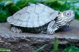 map turtle northern map turtle outdoor alabama