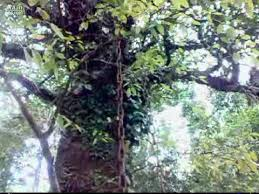 chain grow with tree soul of the martyr of wayanad