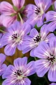 Geranium by 38 Best Geraniums Images On Pinterest Plants Geraniums And