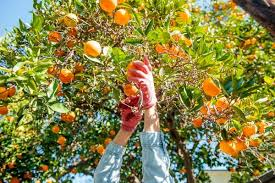 backyard bounty harvest club yields record 52 000 pounds of fruit