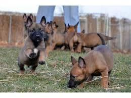 belgian malinois jet black puppy k9 belgian malinois dob 10 12 2016 3mos u0026 8 29 2016 4mos