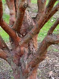 Tree For Home Decoration Outdoor U0026 Garden Cool Paperbark Maple Tree For Home Landscaping Ideas