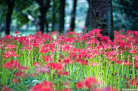 Japanese Flowers Pictures - the red spider lily or higanbana japan u0027s death flower u2014 tokyo times