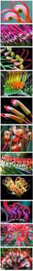 the most poisonous plants in australia hipages com au 71 best australian native flowers images on pinterest australian