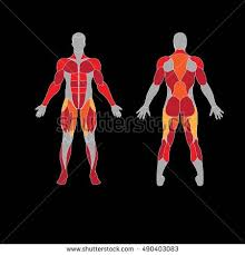 Anatomy Of Body Muscles Anatomy Male Muscular System Human Muscles Stock Vector 489319408