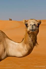 471 best camels images on pinterest camels animals and animal