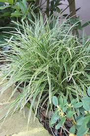 buy ornamental grass plants that grow in shade from wilson bros