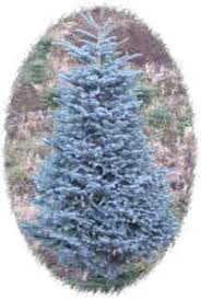 noble christmas tree burton blue noble fir fresh christmas trees limited supply of