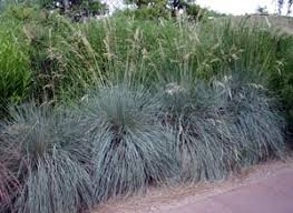 blue oat grass helictotrichon sempevirens master gardener program
