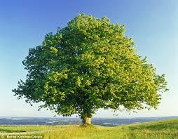britain s oak trees are threat from xylella disease daily