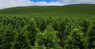 what it takes to grow organic christmas trees news opb