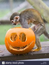 29 10 13 squirrel monkeys eat their halloween themed breakfast