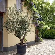 olive tree for sale fast growing trees