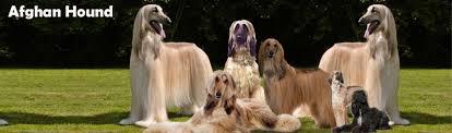 afghan hound lifespan afghan hound dog breed information 4petneeds com