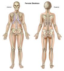 Anatomy Of Women Body Female Body Anatomy Bone Human Anatomy Body