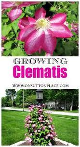 Club Summer Garden - clematis clematis and gardens