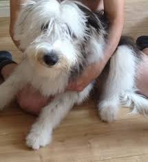 bearded collie adoption 7 month old female bearded collie puppy larkhall lanarkshire